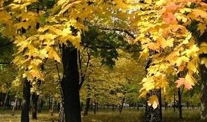 Лечение суставов кленовыми листьями: рецепты и противопоказания